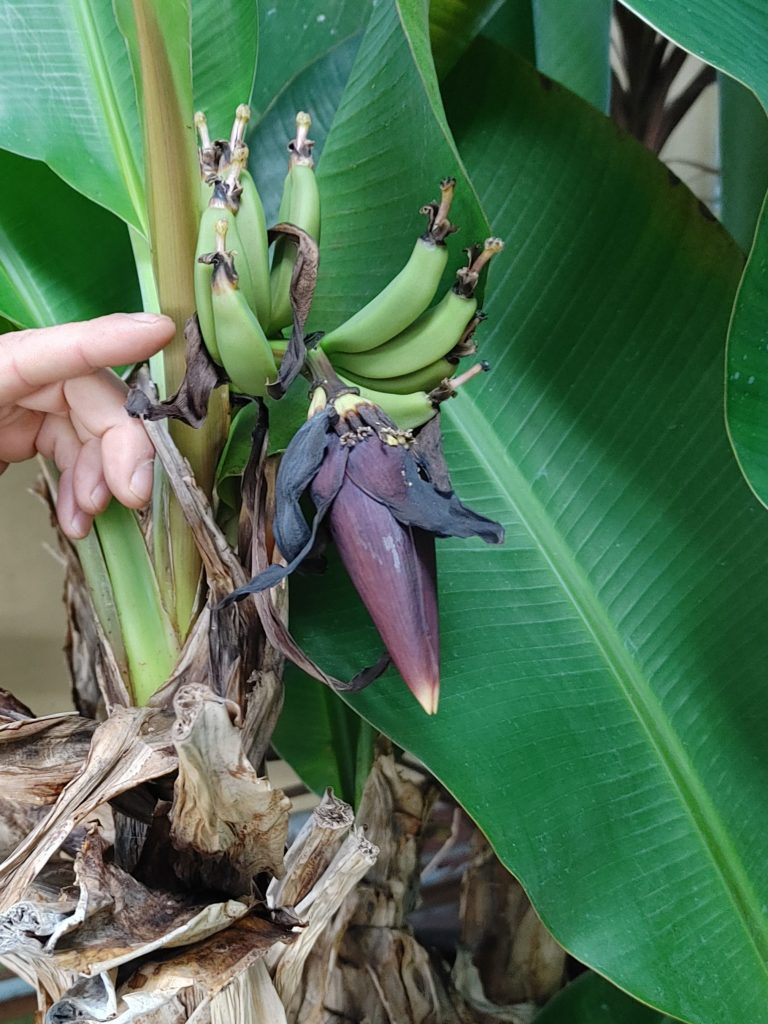 tiny bananas growing